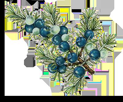 Illustration of Juniper Berry