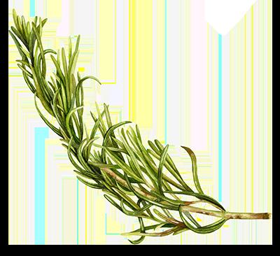 Illustration of Rosemary