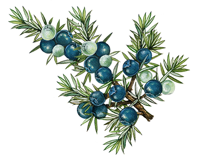 Illustration of Juniper Berry