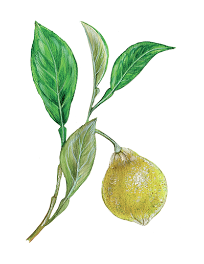 Illustration of Bergamot Orange