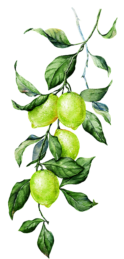 Illustration of Lime
