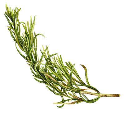 Illustration of Rosemary
